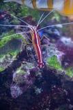Scarlet Skunk Cleaner Shrimp in marine aquarium. Lysmata Amboinensis (Scarlet Skunk Cleaner Shrimp) in marine aquarium stock photos