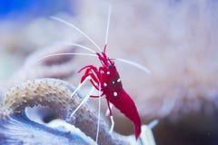Lysmata debelius. Red marine shrimp Lysmata debelius royalty free stock photo