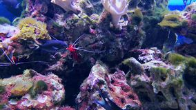 Prawn and hard corals, aquarium. Lysmata debelius shrimp underwater. Prawn and hard corals, aquarium deep waters video. Fire or blood scarlet cleaner shrimp and stock video footage