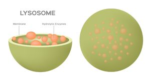Free Lysosome Hydrolytic Enzymes And Membrane Cell / Anatomy Concept Stock Photo - 110687180
