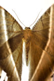 Lyssa zampa. (tropical swallowtail moth), selective focus stock images