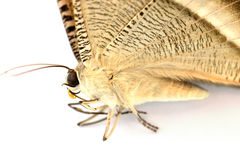 Lyssa zampa. (tropical swallowtail moth), selective focus royalty free stock image
