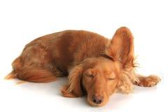 lyssna för hund som är sömnigt Royaltyfri Fotografi