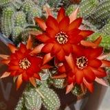 Lyster av tre briljanta röda jordnötkaktusblommor royaltyfri bild