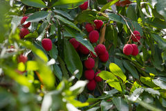 A Lychee tree (Litchi chinensis). In South Florida with an unexpected guest Stock Photos