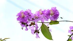 Lythraceae lub tabaka kwiaty kwitniemy zdjęcie wideo