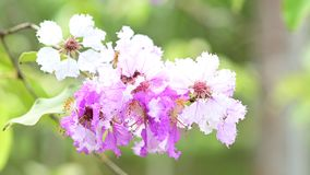 Lythraceae lub tabaka kwiaty kwitniemy zbiory