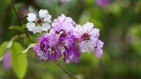 Lythraceae lub tabaka kwiaty kwitniemy zbiory wideo