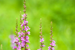 Lythrum anceps Royalty Free Stock Photo