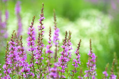 Lythrum anceps Stock Image