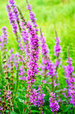 Lythrum salicaria Stock Images