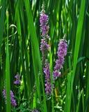 Lythrum Salicaria стоковые фотографии rf