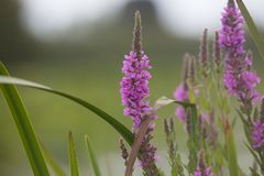 Lythrum Salicaria della salicaria comune Fotografia Stock Libera da Diritti