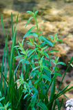 Lythrum salicaria Stock Photos