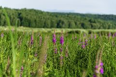 Lythrum salicaria in the floodplain royalty free stock images
