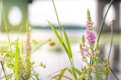 Lythrum Salicaria Royalty Free Stock Image