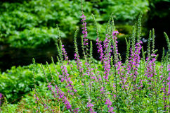 Lythrum salicaria flower Stock Photography