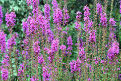 Lythrum Salicaria Royalty Free Stock Photography