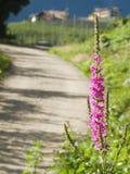 Lythrum salicaria Stock Images