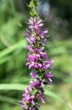 Lythrum salicaria loosestrife purpurowy dziki kwiat w kwiacie Fotografia Royalty Free