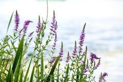 Lythrum salicaria Stock Photography