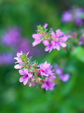 Lythrum salicaria. Plant flowers Stock Image