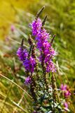 Lythrum salicaria. Purple loosestrife is blooming at the banks of a river. royalty free stock photos