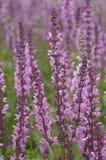Lythrum virgatum, Dropmore Purple. Small pink, purple flowers on tall stems stock image