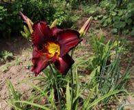 Lyxig blommaDaylily, Hemerocallischokladgodis i trädgården, närbild ätlig blomma Daylilies är perenna växter dem arkivbilder