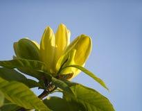 lyxig magnolia Arkivbilder
