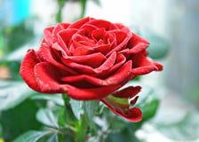 Lyxig röd ros Royaltyfri Bild