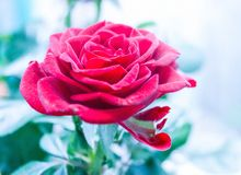 Lyxig röd ros Royaltyfri Foto