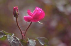 Lyxig rosa tid arkivfoton