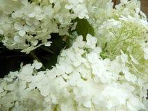 Lyxig vit vanlig hortensianärbild Arkivfoton