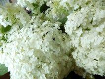 Lyxig vit vanlig hortensianärbild Royaltyfria Bilder