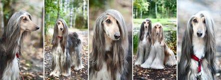 Lyxiga afghanska hundar, hundkapplöpning Collage uppsättning, 5 foto royaltyfria bilder