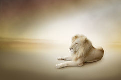Lyxigt foto av den vita lionen, konungen av djur Arkivfoton