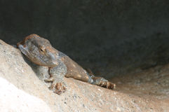Lézard de moniteur Photo stock