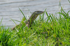 Lézard de moniteur parmi l'herbe verte Photos stock