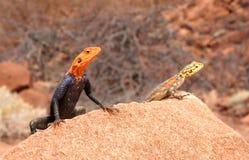 Lézards colorés jetant un coup d'oeil d'une roche Images stock
