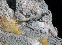 Lézard de Chuckwalla au trou de diables dans Death Valley, Nevada photographie stock libre de droits