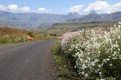 Mágica da flor do cosmos em África do Sul Fotos de Stock Royalty Free