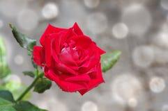 Mágica do ` s da rosa do vermelho em um cinza Foto de Stock