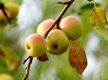Málus sylvéstris. Apple. Forest apples.Caucasian flora.forest Flowers Stock Image