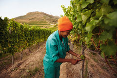 Máquina desbastadora da uva que trabalha no vinhedo Imagens de Stock Royalty Free