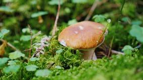 A máquina desbastadora do cogumelo corta um fungo branco na floresta filme