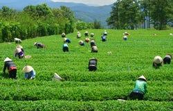 Máquina desbastadora vietnamiana do chá do fazendeiro da multidão na plantação Imagens de Stock
