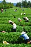 Máquina desbastadora vietnamiana do chá do fazendeiro da multidão na plantação Foto de Stock Royalty Free