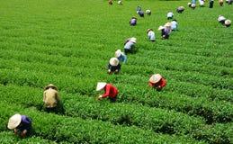 Máquina desbastadora vietnamiana do chá do fazendeiro da multidão na plantação Fotografia de Stock