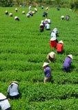 Máquina desbastadora vietnamiana do chá do fazendeiro da multidão na plantação Fotos de Stock